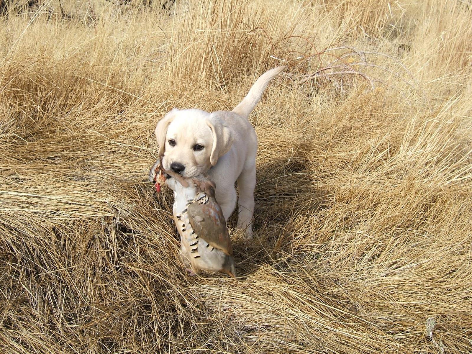 Labradorun sadık bir arkadaşı: cinsin tanımı